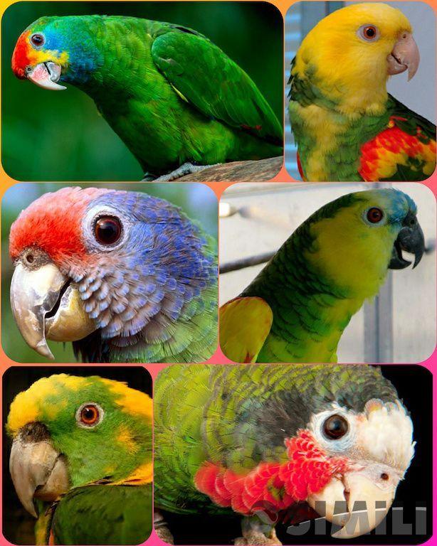 Амазоны - ручные птенцы из питомника.